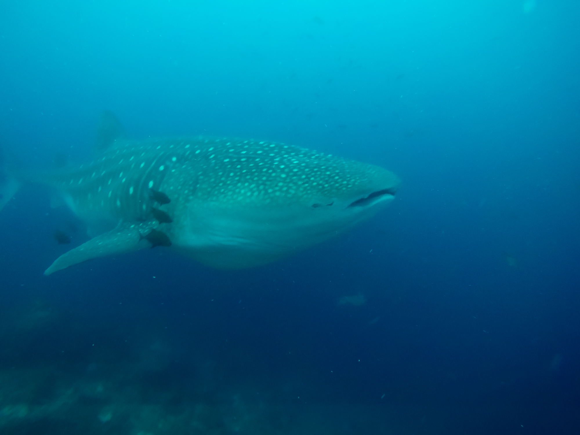 Galapagos: Tauchen mit den Riesen des Meeres